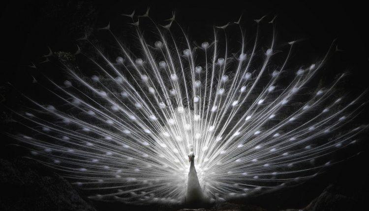 Baltas povas parodo visiems savo neregėto grožio plunksnų puokštę.  Bet jūs palaukite, kol jis pasisuks. Tiesiog nekvėpuokite!