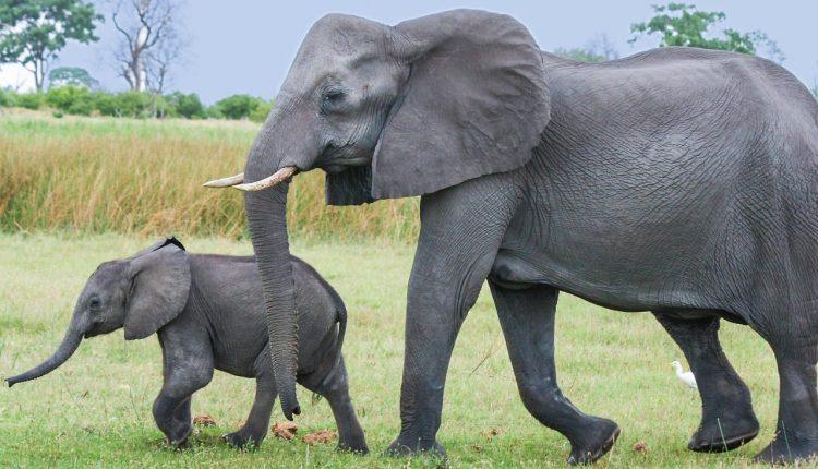 Visas 11 valandų dramblė mama kasė žemę. Jūs būsite šokiruoti, kai sužinosite, kodėl!