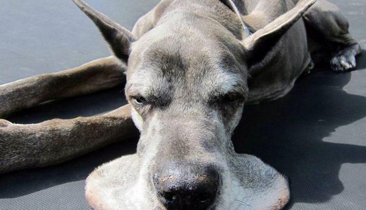 """25 vokiečių dogai, kurie persistengė su """"Augimu"""""""